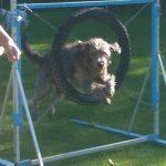 Schulhund Mogli springt durch Reifen